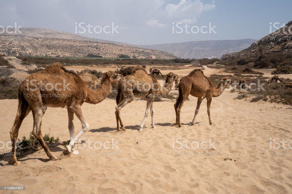 Three camels are walking by at Plage Tamri near Agadir, Morocco stock photo