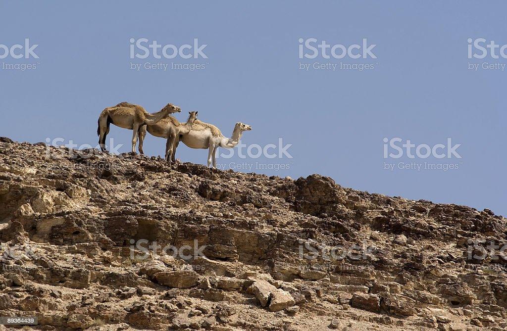 Three camels royaltyfri bildbanksbilder