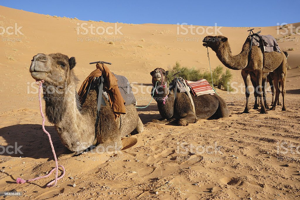 Three camels standing royalty-free stock photo