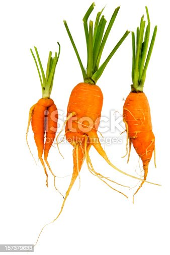Three carrots fresh from the ground