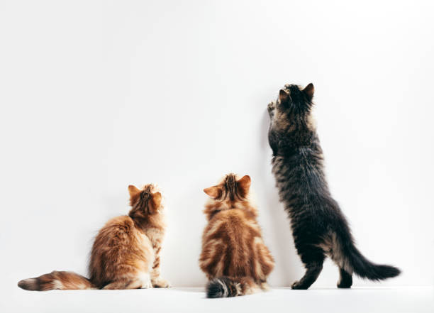 Three cats looking up the wall. Young kittens play time. stock photo