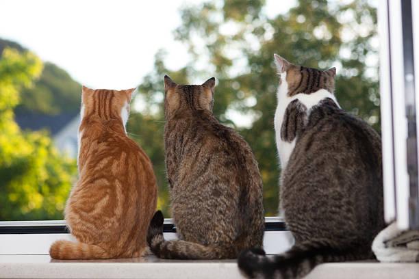 Three cats sitting in window sill picture id482414714?b=1&k=6&m=482414714&s=612x612&w=0&h=pe wwveqjr7rr1xvlja5qlvt3q3tptce6aeu9iu54zi=