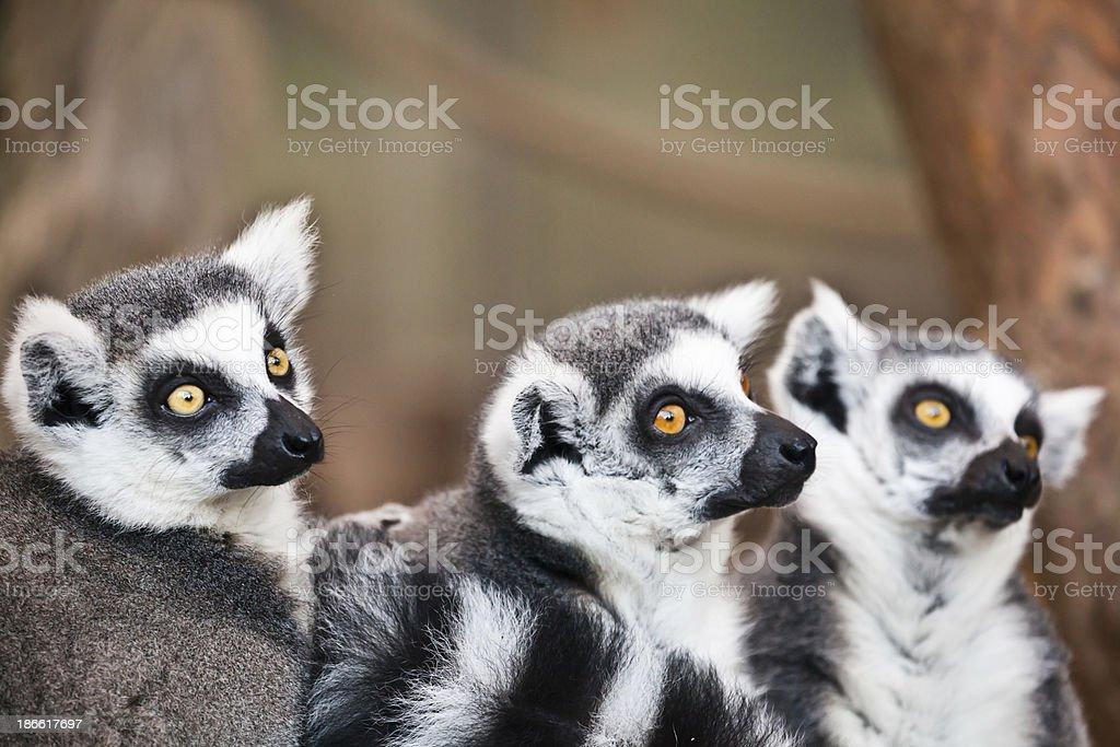 three catta lemurs stock photo