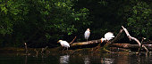 three cattle egrets perched on branch