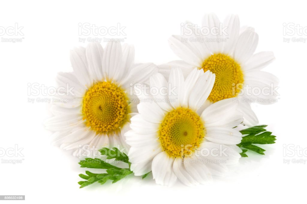 Three chamomile or daisies with leaves isolated on white background stock photo
