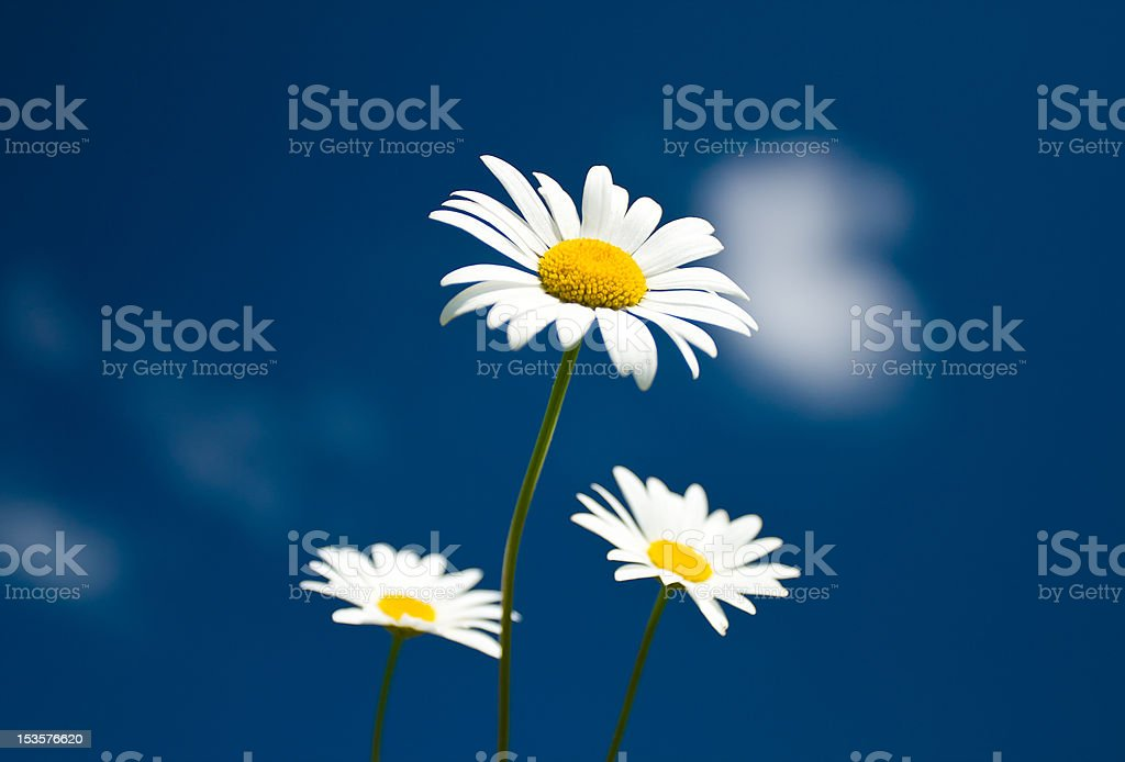 three chamomiles against blue sky royalty-free stock photo