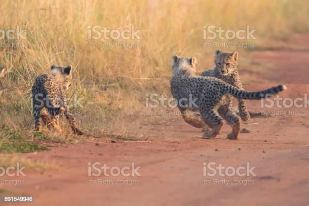 Three cheetah cubs playing early morning in a dirt road picture id891549946?b=1&k=6&m=891549946&s=612x612&h=zbnsjxgin jbr6lvqekl4ltq75plf9il1phe5gdys7k=
