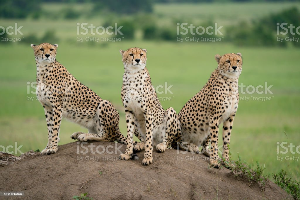 Three cheetah resting and watching stock photo