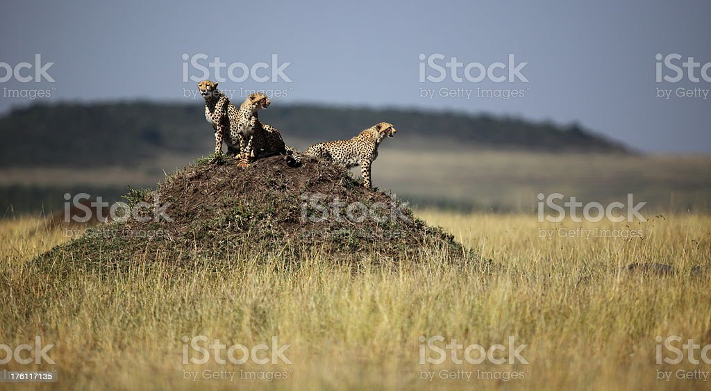 Three cheetahs stock photo