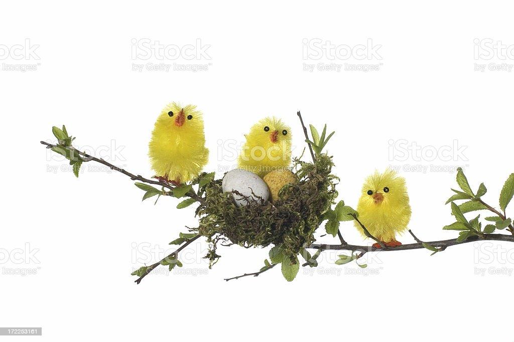 three chicks in tree royalty-free stock photo