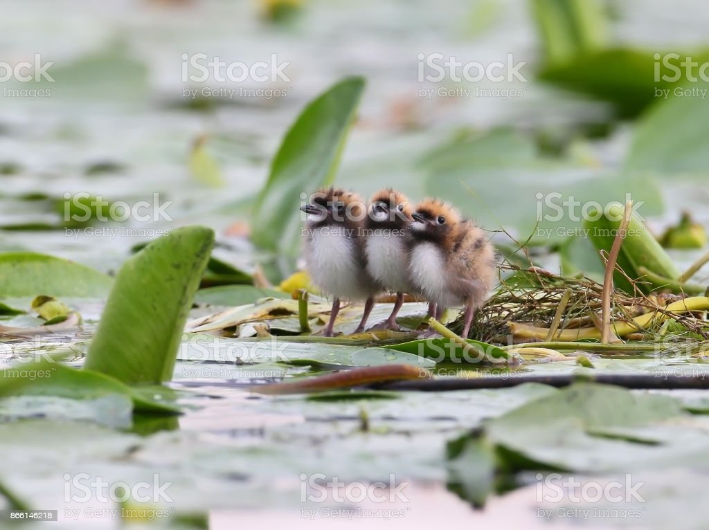 Three chicks of whiskered tern on the nest. stock photo