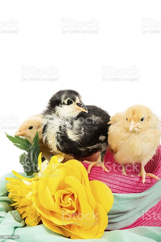 Three chicks on an Easter Bonnet royalty-free stock photo