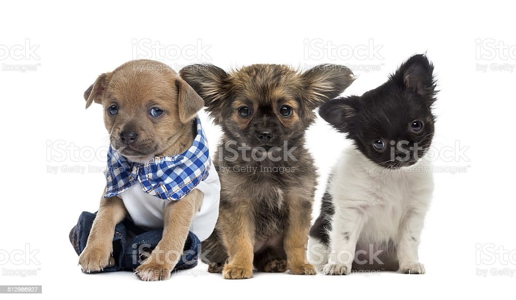 Three Chihuahua sitting stock photo