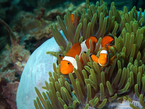 Drei Clownfische beobachten den Unterwasserfotografen von ihrer blau-grünen Anemone aus. Das Foto wurde in Raja Ampat, Indonesien aufgenommen – Foto