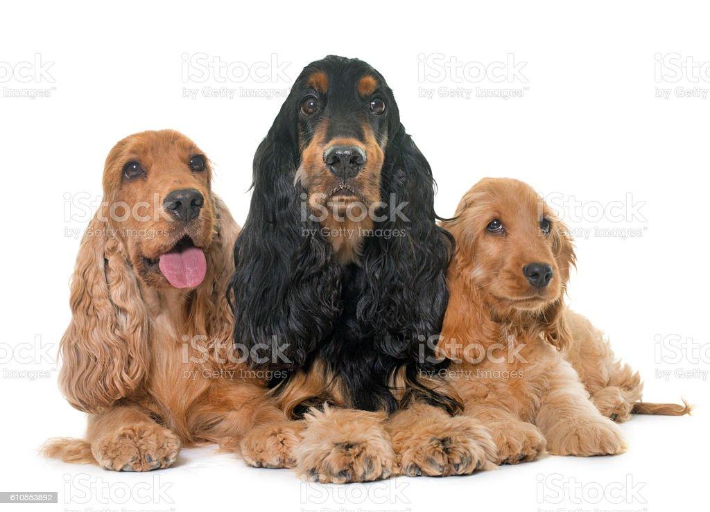three cocker spaniel in studio stock photo