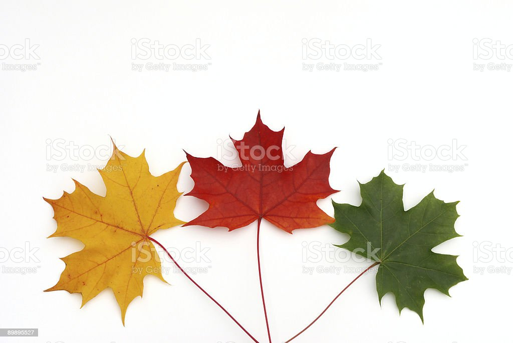 three color maple leaves on white royalty-free stock photo