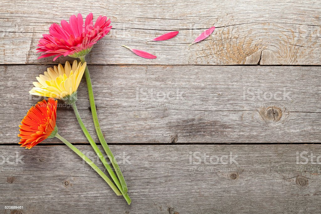 Three colorful gerbera flowers stock photo