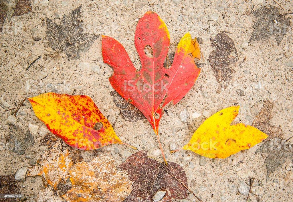 Three Colorful Sassafras leaves on Ground stock photo