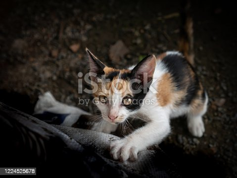 The Three Colors Kitten Climbing to The Sack Bag