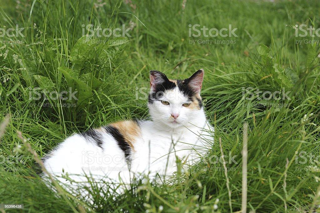 Three colours Cat royalty-free stock photo