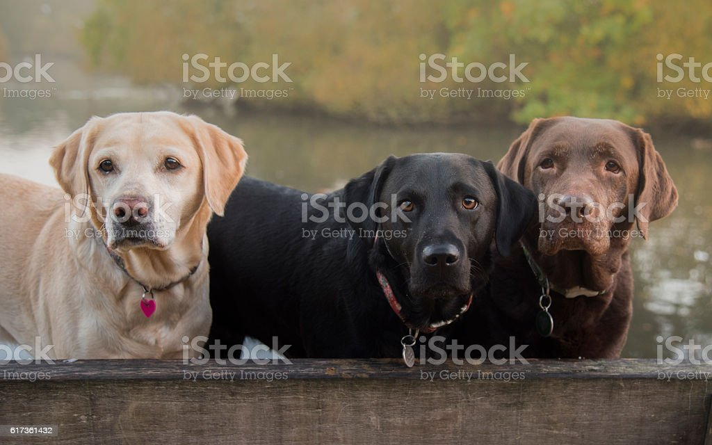 three colours of labrador stock photo