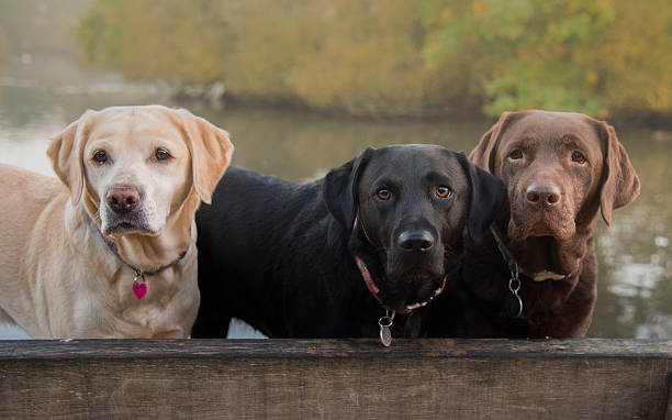 three colours of labrador - labrador retriever foto e immagini stock