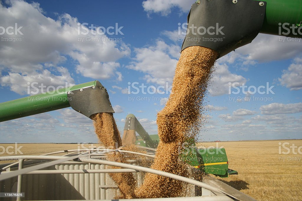 Three combines pour grain into one truck hopper at harvest royalty-free stock photo