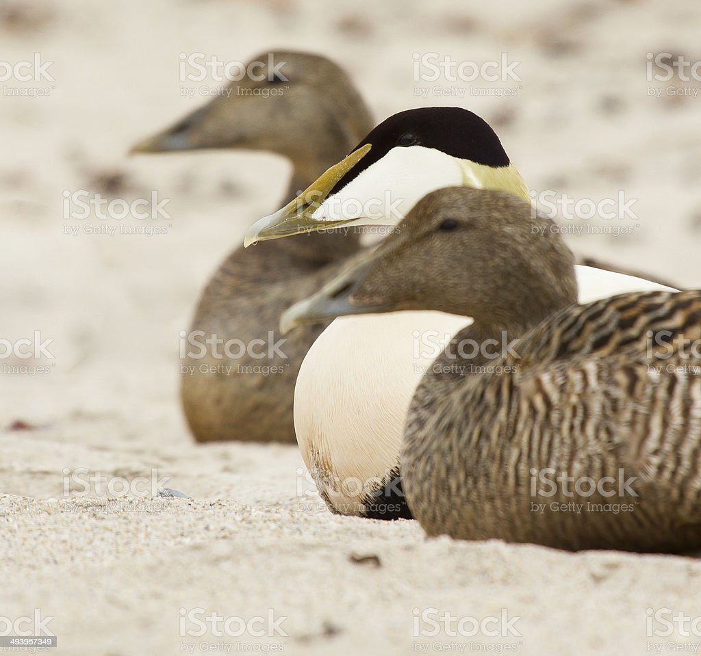 Three common eiders stock photo