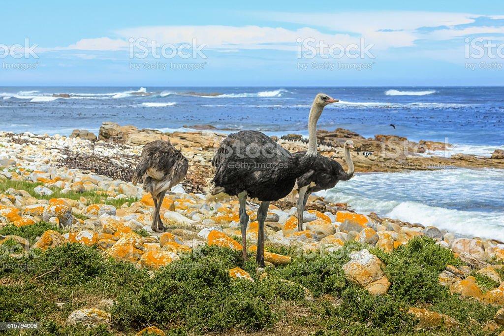 Three common ostriches stock photo