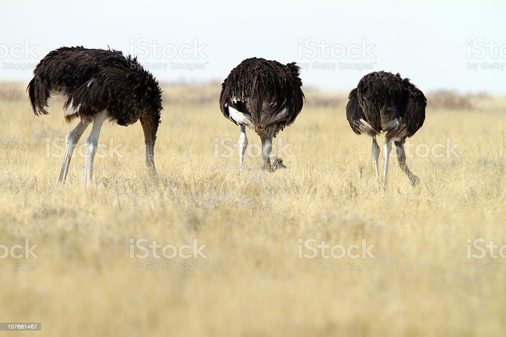 Tres Ostrichs común, parque nacional de Etosha, Namibia - foto de stock