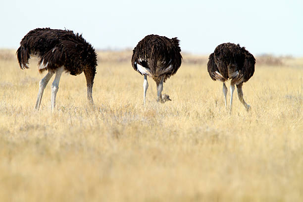 three common ostrichs, etosha national park, namibia - struisvogel stockfoto's en -beelden