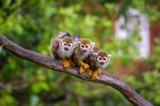 Three common squirrel monkeys sitting on a tree branch stock photo