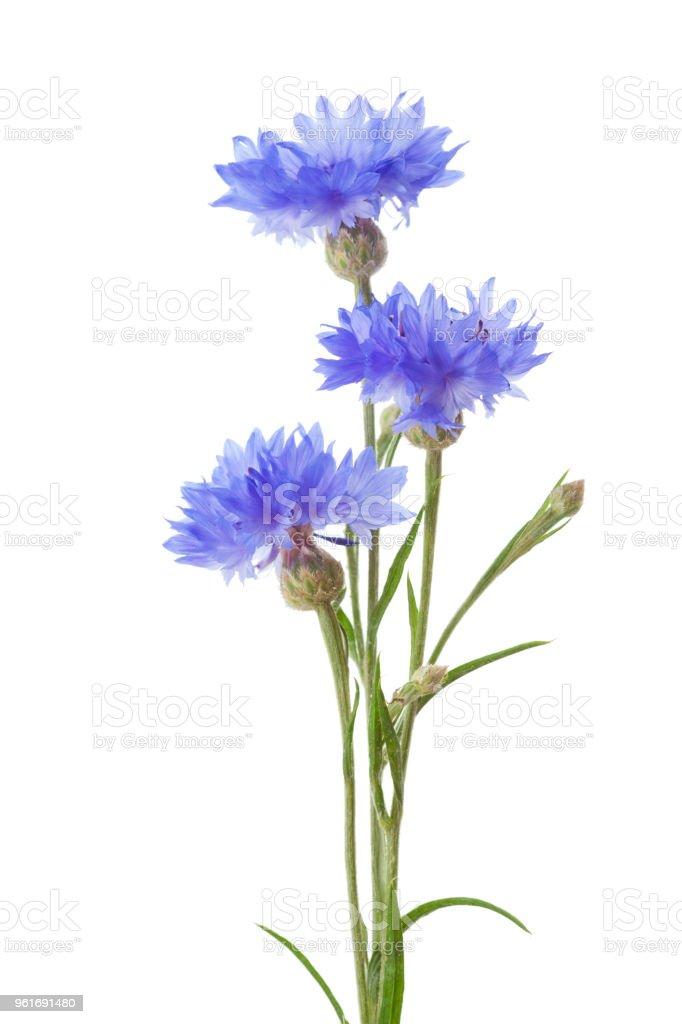 Trois bleuets isolés sur fond blanc. photo libre de droits