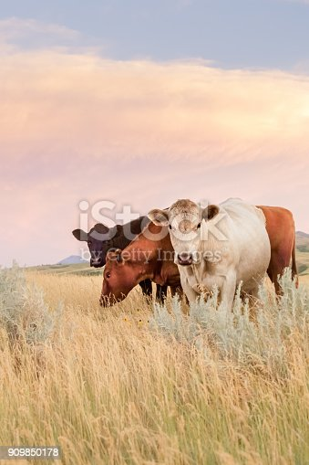 Montana scenic - Cattle standing and grazing tall prairie grass under pastel colored sky and clouds. One cow Charolais white, one cow Red Angus, and one cow Black Angus. No people in this high resolution color photograph. Vertical composition and copy space for content.