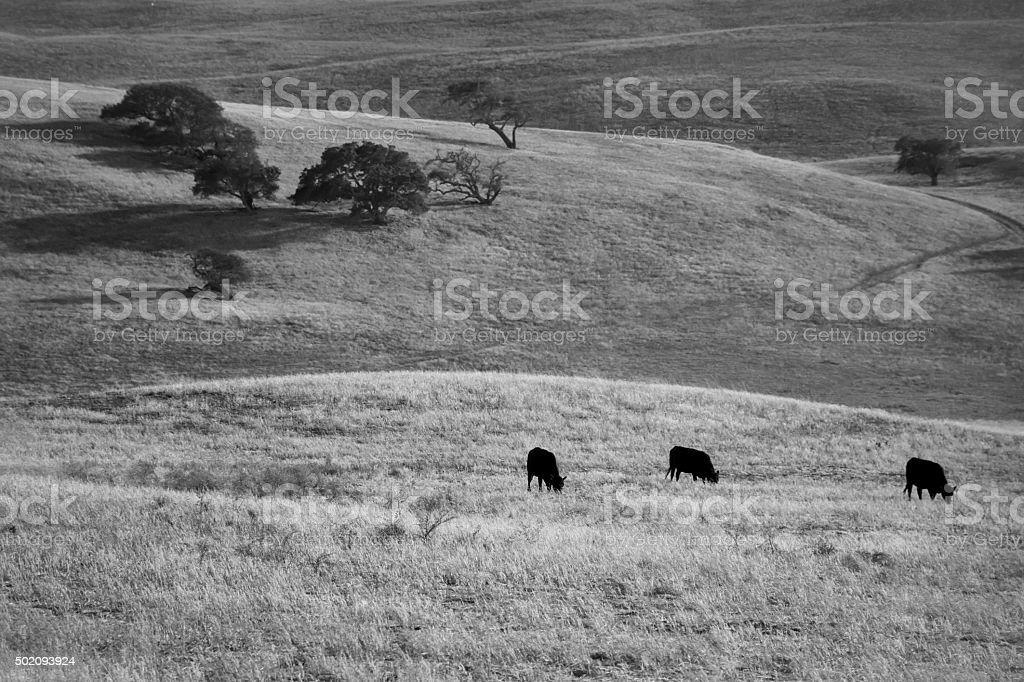 Three Cows Grazing stock photo