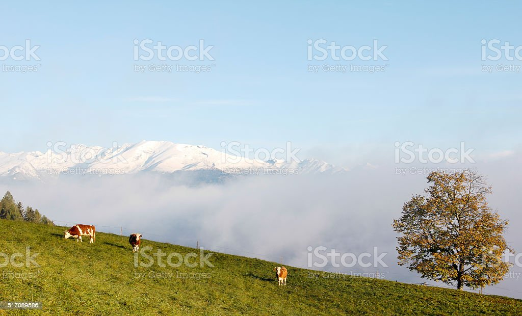 Three Cows Green Field Tree Snowy Mountains In Fall stock photo