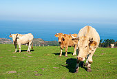 Three cows threatening to attack