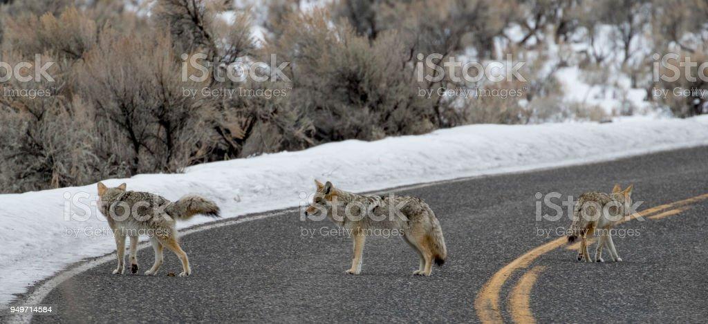 drei Coyote in der Straße – Foto