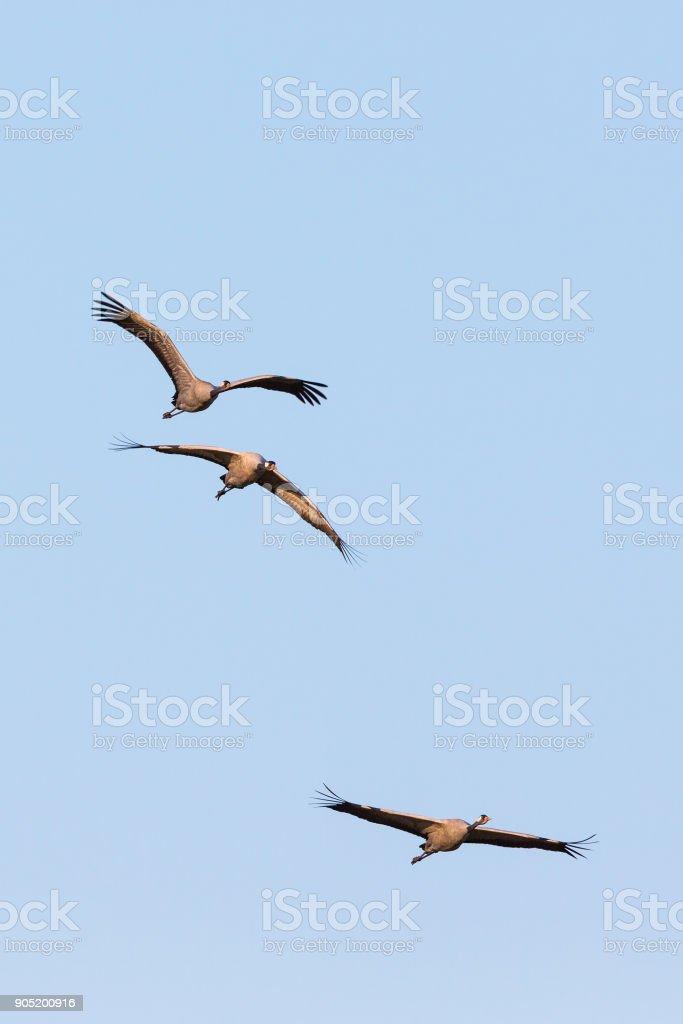 Three Crane flying at the sky stock photo
