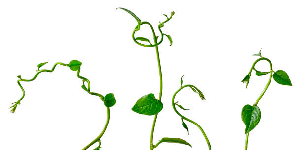three creeper plant tendrils, isolated on white. - plant stem stock pictures, royalty-free photos & images