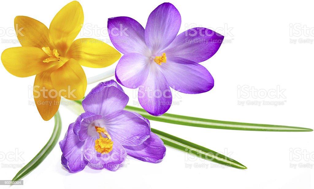 Three Crocus flowers royalty-free stock photo