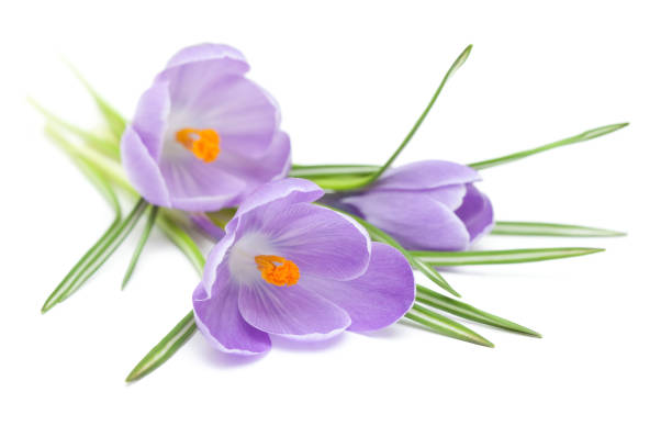 Three Crocus on White stock photo