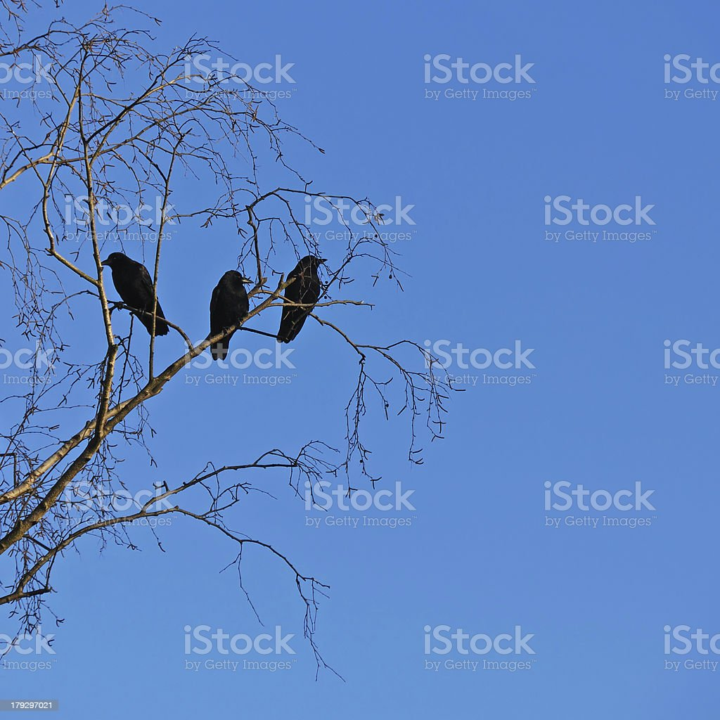 Three Crows royalty-free stock photo