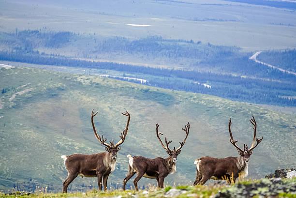 three curious caribou - denali national park bildbanksfoton och bilder