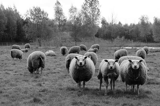 Three Curious Sheep In Black And White stock photo