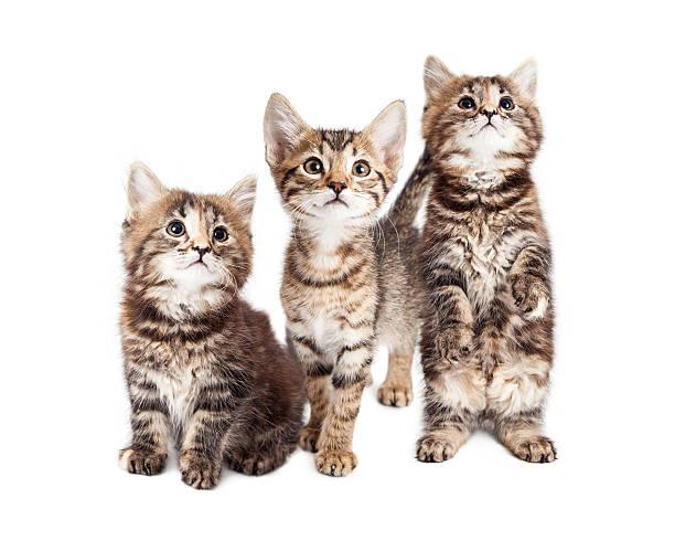 Three curious tabby kittens together on white picture id537506432?b=1&k=6&m=537506432&s=612x612&w=0&h=rbwf9e838xyexgsn  yng0ctdro3s hehgmhez3egeu=