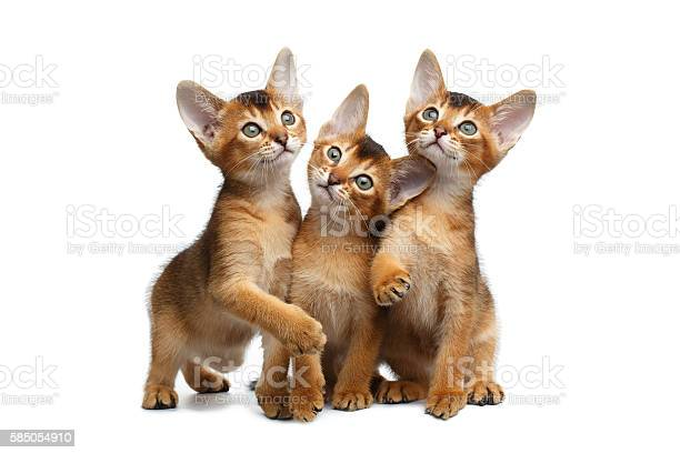 Three cute abyssinian kitten sitting on isolated white background picture id585054910?b=1&k=6&m=585054910&s=612x612&h=q9thhmm19nnpphkpvjuudeeoibho 1ox 1mk0suqfzo=
