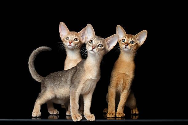 Three cute abyssinian kittens sitting isolated black picture id511868286?b=1&k=6&m=511868286&s=612x612&w=0&h=0xj74umspnjnqepf6uclxlp a7m3jhumnwupchnys8w=