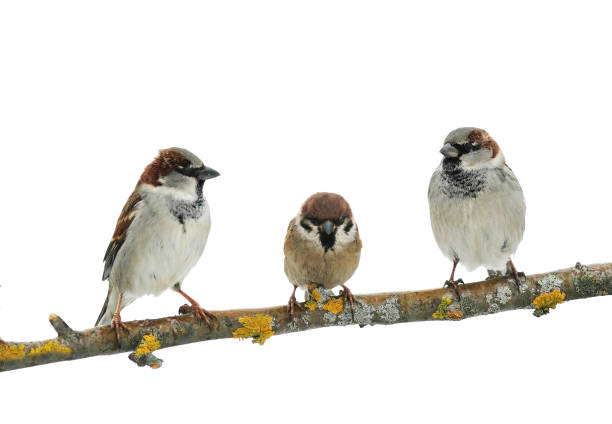 three cute birds Sparrow on white isolated background on a tree branch stock photo