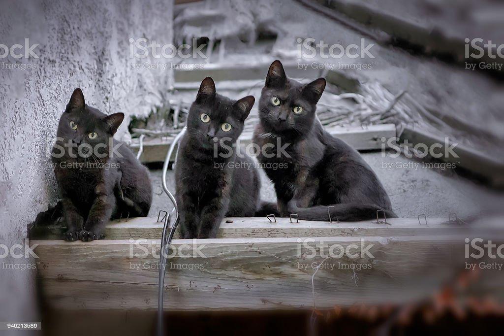 Three cute black Bombay cats kittens looking at camera. stock photo